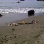 college cove near trinidad northern california pacific ocean corpse sealion